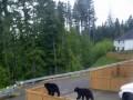 Zwinne niedźwiedzie