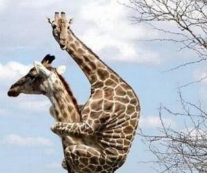 Przerażona żyrafa