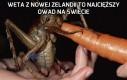Weta z Nowej Zelandii
