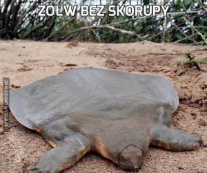 Żółw bez skorupy