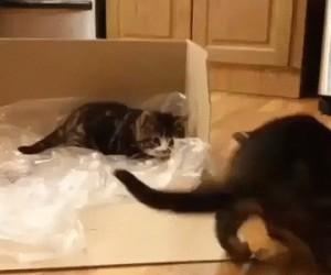 Najbardziej leniwa walka kotów ever