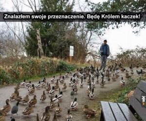 Król kaczek!