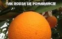 Tak rodzą się pomarańcze