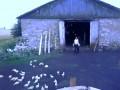 Tresura zwierząt na wsi