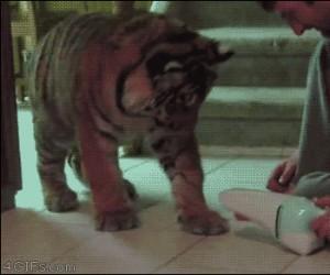 Tygrysy to takie duże kociaki