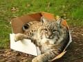 Duże kociaki też lubią pudła