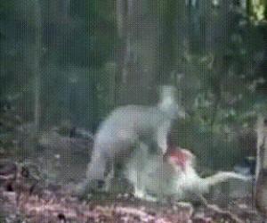 Kaczka kontra kangur