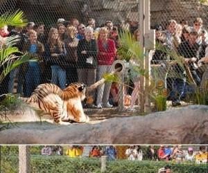 ZOO dało możliwość sprawdzenia swojej siły na tygrysach