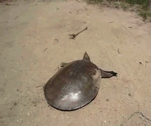 Ktoś mówił, że żółwie są powolne?