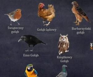 Rodzaje gołębi
