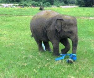 Słonik znalazł sobie nową zabawkę