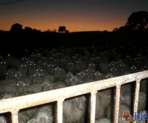Zombie owce atakują