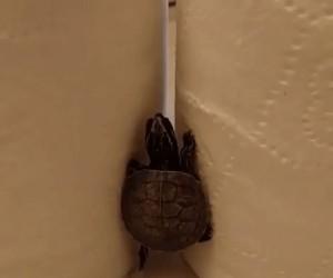 Mały żółw ninja