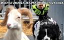 Małpka ujeżdżająca psa, w pogoni za kozą