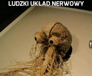 Ludzki układ nerwowy