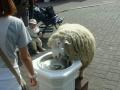 Spragniona owca
