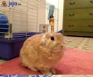 Cierpliwy królik