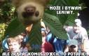 Wredny leniwiec