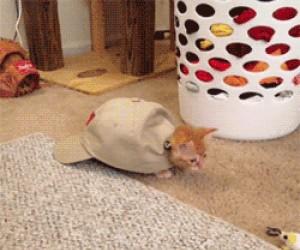 Nowy gatunek kota - Czapkot