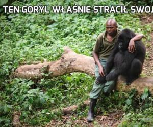 Ten goryl właśnie stracił swoją mamę