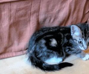 Kot sztywniak