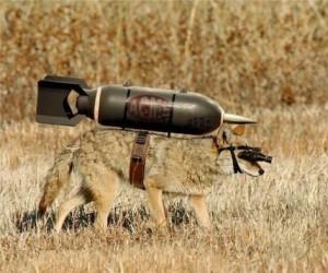 Kojot z kreskówki w rzeczywistości