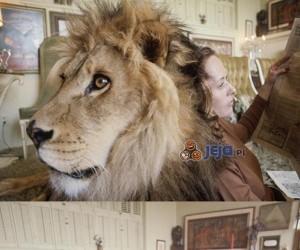 Lew domowym zwierzaczkiem
