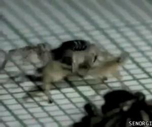 Tańczący pająk, możesz umrzeć w spokoju