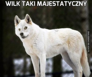 Wilk taki majestatyczny