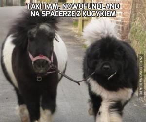 Taki tam, Nowofundland na spacerze z kucykiem