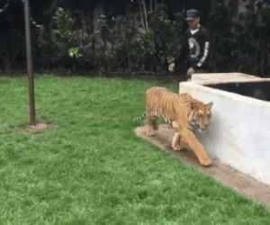 Wystraszyć tygrysa