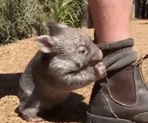 Jak tu nie kochać wombatów?