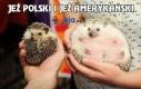 Jeż polski i jeż amerykański