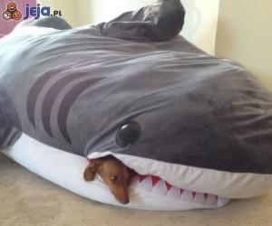 W paszczy rekina