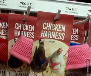 Może wyprowadź kurę na spacer?