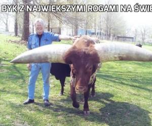 Byk z największymi rogami na świecie