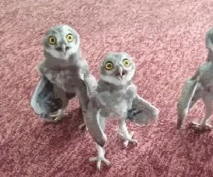 Sowy to dziwne zwierzęta...
