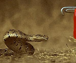 Atak węża