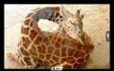 Tak śpią żyrafy