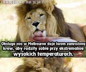 Te lwy na pewno nie gryzą!