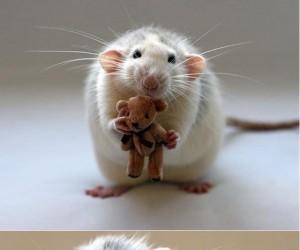 Szczurki z miniaturowymi maskotkami