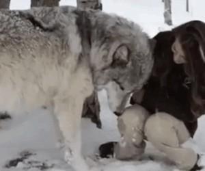 Czasami chciałbym być wilkiem...