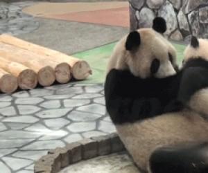 Buziak od małej pandy