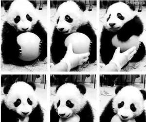 Poziom słodkości: mała panda