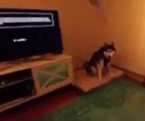 Pies zamachowiec