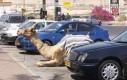 Parkowanie w Arabii