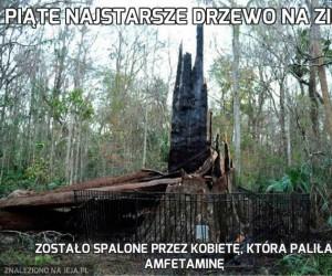 Piąte najstarsze drzewo na Ziemi