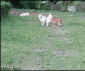 Pies vs. żywopłot