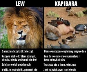 Lew vs kapibara