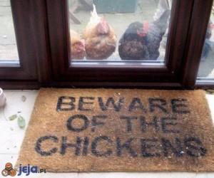 Uwaga, groźne kurczaki